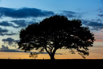 old oak tree on meadow at sunset blue hour with cloudy Sky in the Eifel germany : Stock Photo or Stock Video Download rcfotostock photos, images and assets rcfotostock | RC-Photo-Stock.: