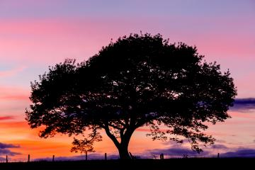 Old oak tree silhouette on a hill at a colorful sunset blue hour in summer  : Stock Photo or Stock Video Download rcfotostock photos, images and assets rcfotostock | RC-Photo-Stock.: