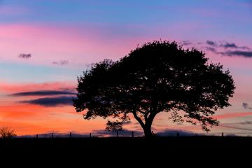 Old oak tree silhouette on a hill at a colorful sunset in summer  : Stock Photo or Stock Video Download rcfotostock photos, images and assets rcfotostock | RC-Photo-Stock.: