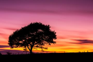 Old oak tree silhouette on colorful sunset in summer at the Eifel national park in germany : Stock Photo or Stock Video Download rcfotostock photos, images and assets rcfotostock | RC-Photo-Stock.: