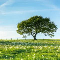 Old tree on dandelion meadow with Blue Sky on spring in the Eifel germany : Stock Photo or Stock Video Download rcfotostock photos, images and assets rcfotostock | RC-Photo-Stock.: