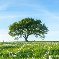 Old tree on meadow with Blue Sky in spring at the Eifel national park : Stock Photo or Stock Video Download rcfotostock photos, images and assets rcfotostock | RC-Photo-Stock.: