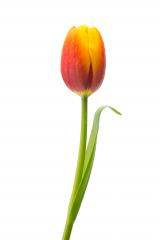 orange tulip flower : Stock Photo or Stock Video Download rcfotostock photos, images and assets rcfotostock | RC-Photo-Stock.:
