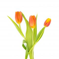 orange tulips on white : Stock Photo or Stock Video Download rcfotostock photos, images and assets rcfotostock | RC-Photo-Stock.: