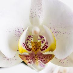 orchid flower close-up in white on white background : Stock Photo or Stock Video Download rcfotostock photos, images and assets rcfotostock | RC-Photo-Stock.: