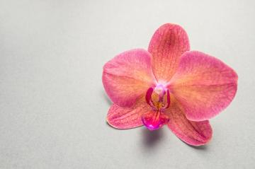 Orchid flower on gray background- Stock Photo or Stock Video of rcfotostock | RC-Photo-Stock