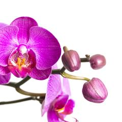 orchid flower with buds in pink on white background : Stock Photo or Stock Video Download rcfotostock photos, images and assets rcfotostock | RC-Photo-Stock.:
