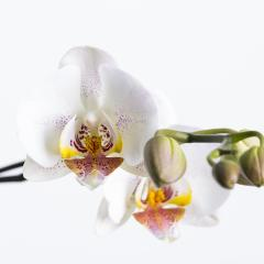 orchid flower with buds in white on white background : Stock Photo or Stock Video Download rcfotostock photos, images and assets rcfotostock | RC-Photo-Stock.: