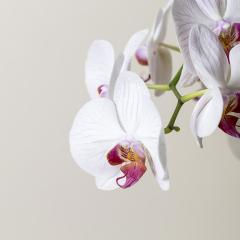 Orchid flowers in Pink and white color on brown background : Stock Photo or Stock Video Download rcfotostock photos, images and assets rcfotostock | RC-Photo-Stock.: