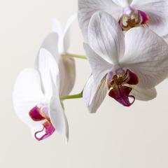 Orchid flowers in Pink and white color on brown background- Stock Photo or Stock Video of rcfotostock | RC-Photo-Stock