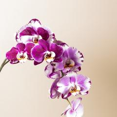 Orchid flowers in Pink and white colors on brown background- Stock Photo or Stock Video of rcfotostock | RC-Photo-Stock