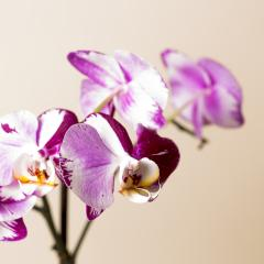 Orchid flowers in pink and white colors on brown background : Stock Photo or Stock Video Download rcfotostock photos, images and assets rcfotostock | RC-Photo-Stock.: