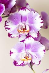 Orchid flowers in pink colors on brown background- Stock Photo or Stock Video of rcfotostock | RC-Photo-Stock