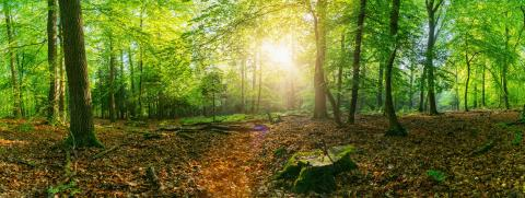 Panorama of a scenic forest of fresh green deciduous trees with the sun casting its rays of light through the foliage- Stock Photo or Stock Video of rcfotostock | RC-Photo-Stock