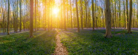 path in to the Hallerbos Forest at spring time at sunset panorama : Stock Photo or Stock Video Download rcfotostock photos, images and assets rcfotostock | RC-Photo-Stock.: