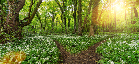 Paths into the Wild garlic forest in spring with beautiful bright sun rays : Stock Photo or Stock Video Download rcfotostock photos, images and assets rcfotostock | RC-Photo-Stock.: