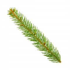 pine branch isolated on white background : Stock Photo or Stock Video Download rcfotostock photos, images and assets rcfotostock | RC-Photo-Stock.: