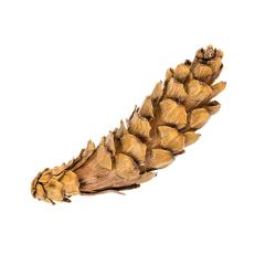 Pine cone isolated on white background with clipping path- Stock Photo or Stock Video of rcfotostock | RC-Photo-Stock