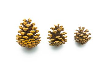 pine cones in different sizes : Stock Photo or Stock Video Download rcfotostock photos, images and assets rcfotostock | RC-Photo-Stock.: