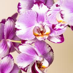 Pink Orchid flowers cosmetics on brown background : Stock Photo or Stock Video Download rcfotostock photos, images and assets rcfotostock | RC-Photo-Stock.: