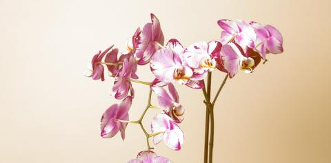 Pink Orchid flowers on brown background : Stock Photo or Stock Video Download rcfotostock photos, images and assets rcfotostock | RC-Photo-Stock.: