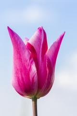Pink Tulip bud- Stock Photo or Stock Video of rcfotostock | RC-Photo-Stock