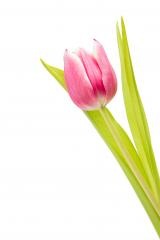 pink tulip flower : Stock Photo or Stock Video Download rcfotostock photos, images and assets rcfotostock | RC-Photo-Stock.:
