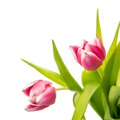 pink tulip flower buds- Stock Photo or Stock Video of rcfotostock | RC-Photo-Stock