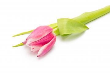 pink tulip on white- Stock Photo or Stock Video of rcfotostock | RC-Photo-Stock