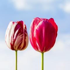 Pink Tulips on blue sky- Stock Photo or Stock Video of rcfotostock | RC-Photo-Stock