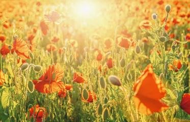 Poppy flowers field in spring at sunset- Stock Photo or Stock Video of rcfotostock | RC-Photo-Stock