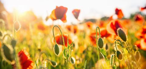 Poppy flowers meadow and nice sunset scene - Stock Photo or Stock Video of rcfotostock | RC-Photo-Stock