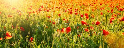 Poppy flowers meadow at summer, banner size- Stock Photo or Stock Video of rcfotostock | RC-Photo-Stock
