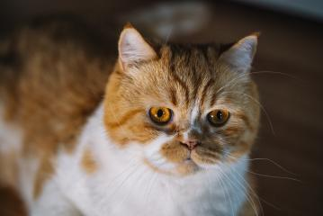 Portrait of a surprised Orange cat looking at camera  : Stock Photo or Stock Video Download rcfotostock photos, images and assets rcfotostock | RC-Photo-Stock.:
