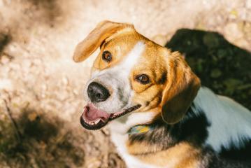 Portrait of beagle- Stock Photo or Stock Video of rcfotostock   RC-Photo-Stock