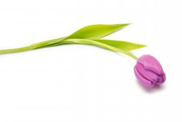 purple tulip flower on white- Stock Photo or Stock Video of rcfotostock | RC-Photo-Stock