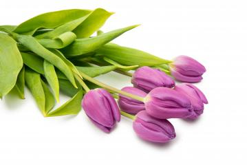 purple tulip flowers- Stock Photo or Stock Video of rcfotostock | RC-Photo-Stock