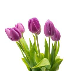 purple tulip flowers on white- Stock Photo or Stock Video of rcfotostock | RC-Photo-Stock