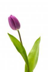 purple tulip on white - Stock Photo or Stock Video of rcfotostock | RC-Photo-Stock