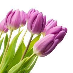 purple tulips on white : Stock Photo or Stock Video Download rcfotostock photos, images and assets rcfotostock | RC-Photo-Stock.: