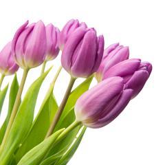 purple tulips on white- Stock Photo or Stock Video of rcfotostock | RC-Photo-Stock