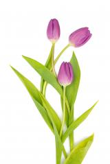 purple tulips on white- Stock Photo or Stock Video of rcfotostock | RC-Photo-Stock