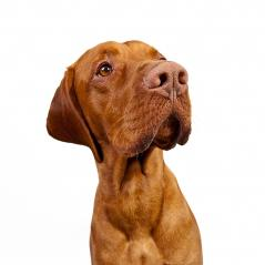 Rassehund Weimaraner freisteller : Stock Photo or Stock Video Download rcfotostock photos, images and assets rcfotostock | RC-Photo-Stock.: