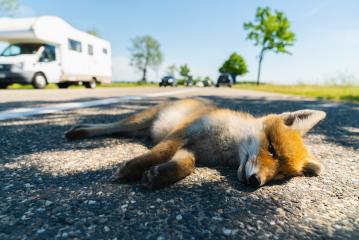 Red fox deadly in the street edge - Stock Photo or Stock Video of rcfotostock | RC-Photo-Stock