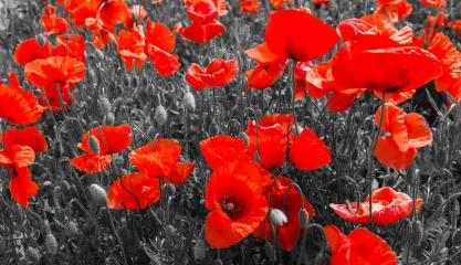red poppies, black and white : Stock Photo or Stock Video Download rcfotostock photos, images and assets rcfotostock | RC-Photo-Stock.: