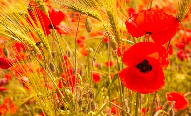 red poppy flowers in a corn field : Stock Photo or Stock Video Download rcfotostock photos, images and assets rcfotostock | RC-Photo-Stock.: