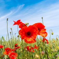 red poppy flowers in a summer field- Stock Photo or Stock Video of rcfotostock | RC-Photo-Stock