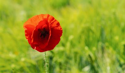 red poppy in a wheat field close up. copyspace for your individual text- Stock Photo or Stock Video of rcfotostock | RC-Photo-Stock