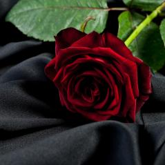 red rose on a background of black satin- Stock Photo or Stock Video of rcfotostock | RC-Photo-Stock