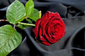red rose on a background of black satin silk- Stock Photo or Stock Video of rcfotostock | RC-Photo-Stock
